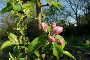 Boskop-Blüten